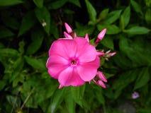 Ενιαίο ρόδινο λουλούδι phlox στοκ εικόνα με δικαίωμα ελεύθερης χρήσης