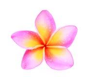 Ενιαίο ρόδινο τροπικό λουλούδι plumeria frangipani Στοκ Εικόνα