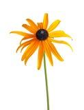 Ενιαίο σύνθετο λουλούδι ενός Rudbeckia που απομονώνεται στο λευκό Στοκ Εικόνα