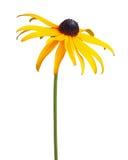 Ενιαίο σύνθετο λουλούδι ενός Rudbeckia που απομονώνεται στο λευκό Στοκ Εικόνες