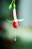 Ενιαίο φούξια λουλούδι Στοκ φωτογραφία με δικαίωμα ελεύθερης χρήσης