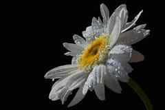 Ενιαίο φρέσκο λουλούδι ox-eye της μαργαρίτας Leucanthemum Vulgare στο μαύρο υπόβαθρο με τις πτώσεις του νερού στα πέταλα Στοκ Εικόνες