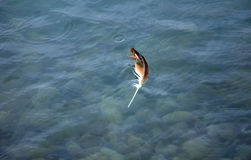 Ενιαίο φτερό που επιπλέει στο νερό Στοκ εικόνα με δικαίωμα ελεύθερης χρήσης