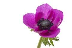 Ενιαίο Anemone Στοκ φωτογραφία με δικαίωμα ελεύθερης χρήσης