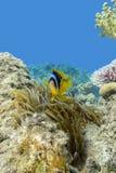Ενιαίο anemone Clownfish και θάλασσας στην τροπική θάλασσα, υποβρύχια Στοκ φωτογραφίες με δικαίωμα ελεύθερης χρήσης