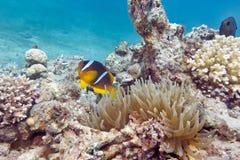 Ενιαίο anemone Clownfish και θάλασσας στην τροπική θάλασσα, υποβρύχια Στοκ Εικόνες