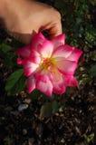 Ενιαίο Begonia που μαδιέται υπό εξέταση από έναν πράσινο κήπο στοκ φωτογραφίες