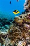 Ενιαίο Clownfish δίπλα σε το είναι aneomone ξένιου χ/υ στη Ερυθρά Θάλασσα Στοκ φωτογραφία με δικαίωμα ελεύθερης χρήσης