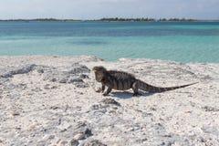 Ενιαίο iguana στην παραλία πετρών Στοκ Φωτογραφία
