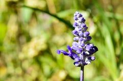 Ενιαίο lavender λουλούδι lavandula Στοκ Φωτογραφία