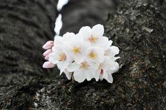 Ενιαίο sakura στο πλήρες άνθος Στοκ Φωτογραφίες