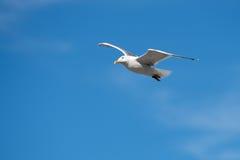 Ενιαίο Seagull πετώντας πουλί με τα ανοικτά φτερά στο σαφή μπλε ουρανό Στοκ εικόνες με δικαίωμα ελεύθερης χρήσης