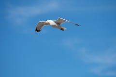 Ενιαίο Seagull πετώντας πουλί με τα ανοικτά φτερά στο σαφή μπλε ουρανό Στοκ Φωτογραφία