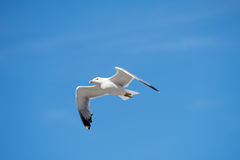 Ενιαίο Seagull πετώντας πουλί με τα ανοικτά φτερά στο σαφή μπλε ουρανό Στοκ φωτογραφία με δικαίωμα ελεύθερης χρήσης