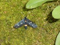 Εννέα-επισημασμένη πεταλούδα σκώρων δασικό μαύρο στον κίτρινο στοκ φωτογραφία με δικαίωμα ελεύθερης χρήσης