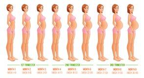 Εννέα μήνες της προόδου εγκυμοσύνης Στοκ Εικόνες