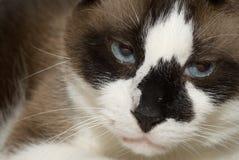 ενοχλημένη γάτα Στοκ Φωτογραφία
