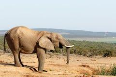 Εντάξει - αφρικανικός ελέφαντας του Μπους Στοκ Εικόνες