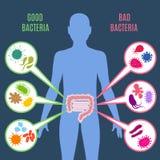 Εντερική διανυσματική έννοια υγείας εντέρων χλωρίδας με τα βακτηρίδια και τα εικονίδια probiotics