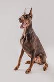 Εντολές συνεδρίασης και υπακοής σκυλιών εργασίας Στοκ Φωτογραφία