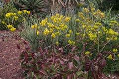 Εντυπωσιακά φύλλα και λουλούδια ενός succulent φυτού Kalanchoe Crenata στοκ εικόνες