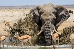 Εντυπωσιακό ράντισμα ελεφάντων του Bull στο waterhole Στοκ Φωτογραφία