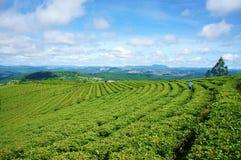 Εντυπωσιακό τοπίο, Dalat, Βιετνάμ, φυτεία τσαγιού Στοκ Εικόνα