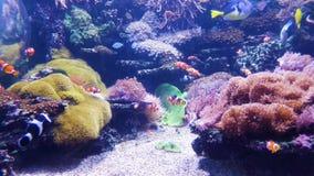 Ενυδρείο με τα ψάρια κλόουν και άλλα ζωηρόχρωμα ψάρια με τα κοράλλια στο υπόβαθρο απόθεμα βίντεο