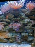 Ενυδρείο με τα anemones και τα ψάρια κλόουν Στοκ φωτογραφίες με δικαίωμα ελεύθερης χρήσης