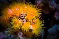 ενυδρείο anemone καμία ληφθείσα θάλασσα άγρια περιοχή Φωτογραφία κινηματογραφήσεων σε πρώτο πλάνο που λαμβάνεται στους σκοπέλους  Στοκ εικόνα με δικαίωμα ελεύθερης χρήσης