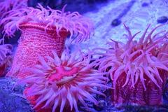 ενυδρείο anemone καμία ληφθείσα θάλασσα άγρια περιοχή Στοκ φωτογραφία με δικαίωμα ελεύθερης χρήσης