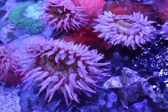 ενυδρείο anemone καμία ληφθείσα θάλασσα άγρια περιοχή Στοκ Εικόνα