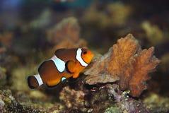 ενυδρείο clownfish Στοκ Εικόνα