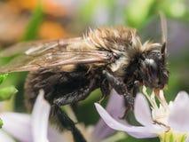 Ενυδάτωση της υγρής bumble γύρης αποσπασμάτων μελισσών από το άσπρο λουλούδι Στοκ Φωτογραφίες