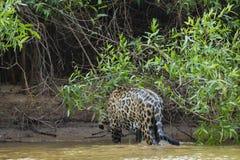 Ενυδατώνοντας τον υγρό άγριο ιαγουάρο που περπατά έξω του ποταμού στη ζούγκλα στοκ εικόνα με δικαίωμα ελεύθερης χρήσης