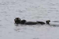 Ενυδρίδα θάλασσας Στοκ Φωτογραφία