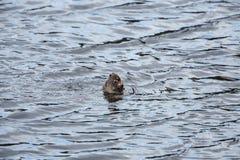 Ενυδρίδα ποταμών Στοκ φωτογραφίες με δικαίωμα ελεύθερης χρήσης