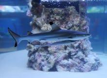 Ενυδρείο με ένα μικρό ψάρι καρχαριών και κωλυμάτων Στοκ Εικόνα