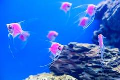 Ενυδρείο με τα ρόδινα ψάρια στοκ εικόνες