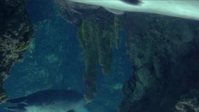 Ενυδρείο της Γένοβας, κολύμβηση σφραγίδων υποβρύχια απόθεμα βίντεο