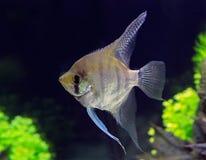 Ενυδρείο το angelfish Στοκ φωτογραφία με δικαίωμα ελεύθερης χρήσης