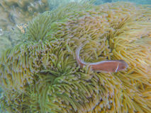 ενυδρείο anemone καμία ληφθείσα θάλασσα άγρια περιοχή Στοκ εικόνες με δικαίωμα ελεύθερης χρήσης