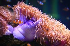 ενυδρείο anemone καμία ληφθείσα θάλασσα άγρια περιοχή Στοκ εικόνα με δικαίωμα ελεύθερης χρήσης