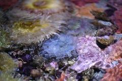 ενυδρείο anemone καμία ληφθείσα θάλασσα άγρια περιοχή Στοκ Εικόνες