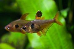 Ενυδρείο fishe Ροδοειδής τετρα Δεξαμενή φύσης Του γλυκού νερού δεξαμενή Ένα πράσινο όμορφο φυτευμένο του γλυκού νερού ενυδρείο Στοκ Εικόνα