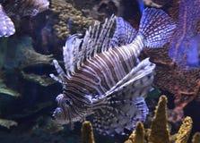 Ενυδρείο Ripleys ψαριών λιονταριών Στοκ Φωτογραφίες