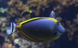 ενυδρείων κοραλλιών ψαριών τροπικός κίτρινος δεξαμενών γεύσης σκοπέλων ζωής θαλάσσιος Στοκ Φωτογραφίες