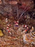 Ενωμένες γαρίδες 02 κοραλλιών Στοκ εικόνα με δικαίωμα ελεύθερης χρήσης