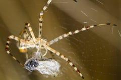 Ενωμένη αράχνη κήπων (trifasciata Argiope) Στοκ φωτογραφία με δικαίωμα ελεύθερης χρήσης
