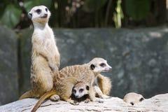 ενωμένη mongoose υπερηφάνεια στοκ φωτογραφία με δικαίωμα ελεύθερης χρήσης